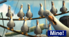 Finding Nemo - Seagull Chase Scene - Mine!.png